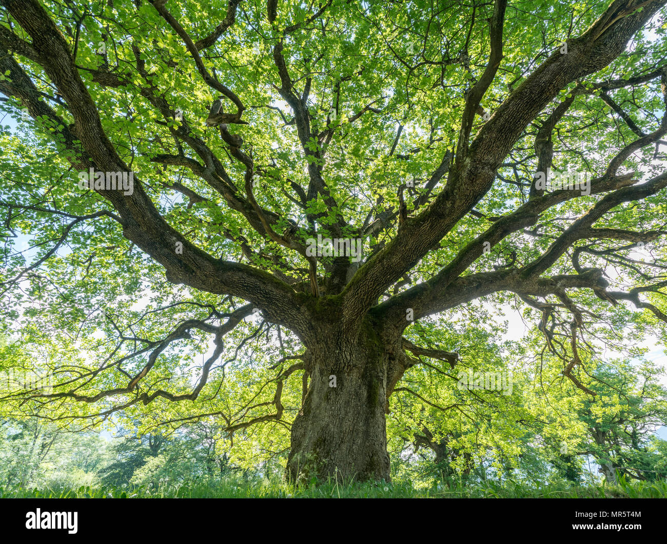 majestic old oak giving shade to a spring meadow - Stock Image