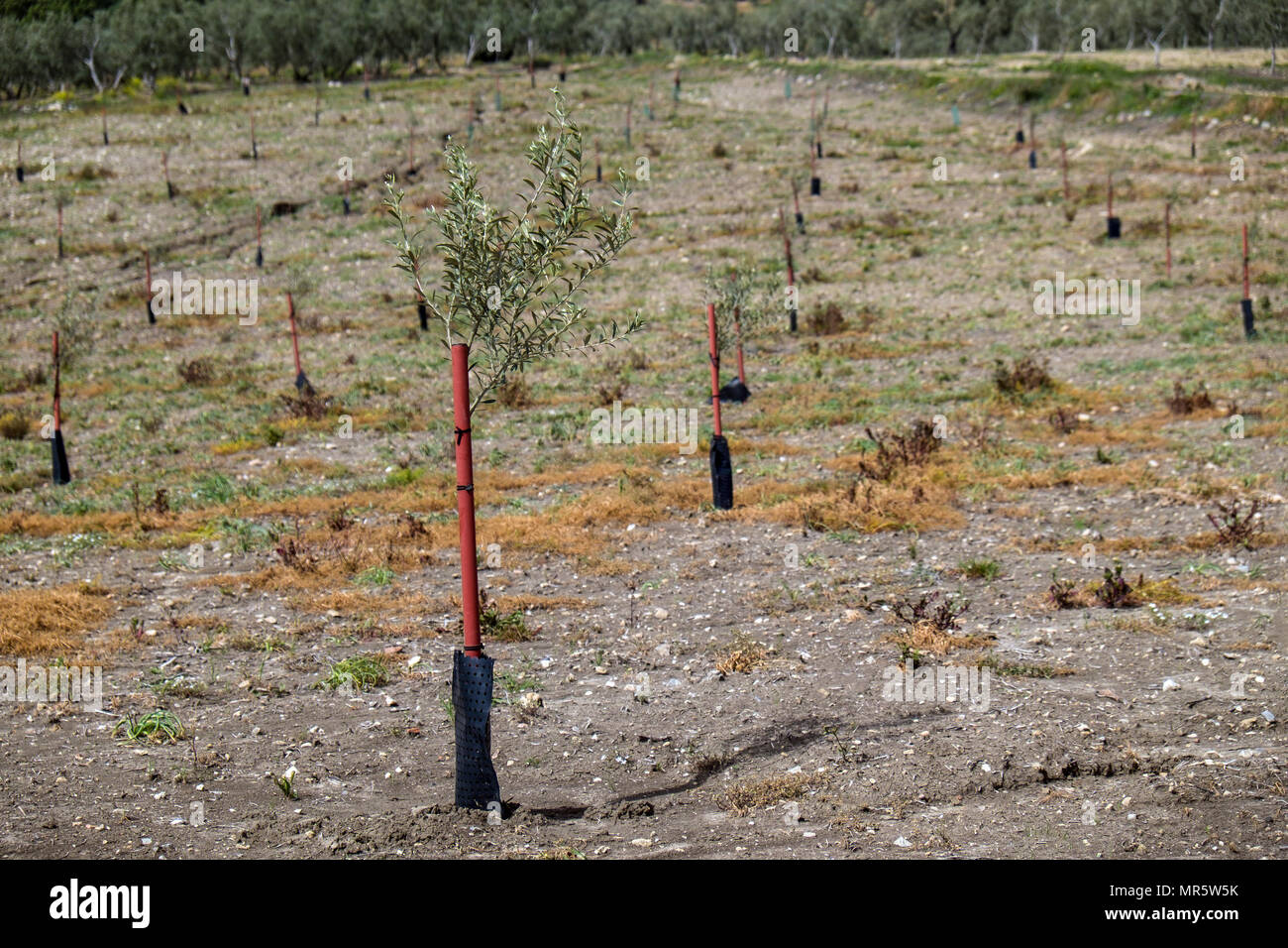 Planting new olive groves is now a strategic policy decision in Andalusia, Spain. Olive trees will produce fruit in between three and twelve years. - Stock Image