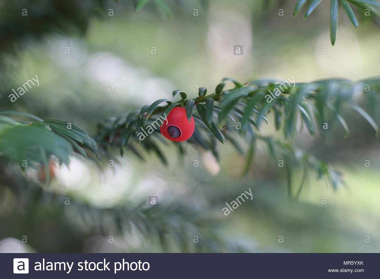 plant with small red berries stock image - Christmas Broom Decoration