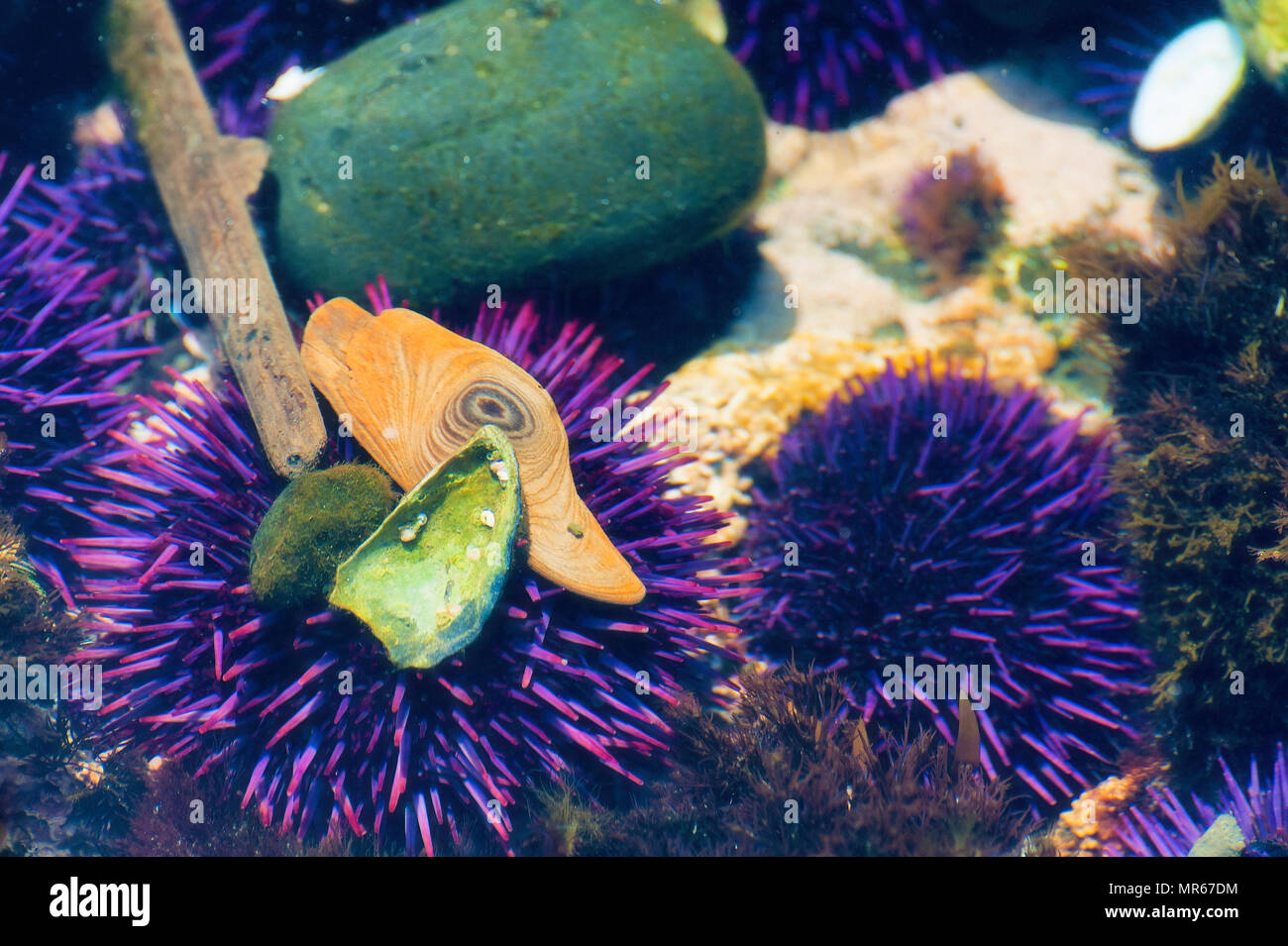 At Yaquina Head's Cobble beach in Newport Oregon, purple sea urchins are a great attractraction in the tidepools as shown in this closeup image. - Stock Image