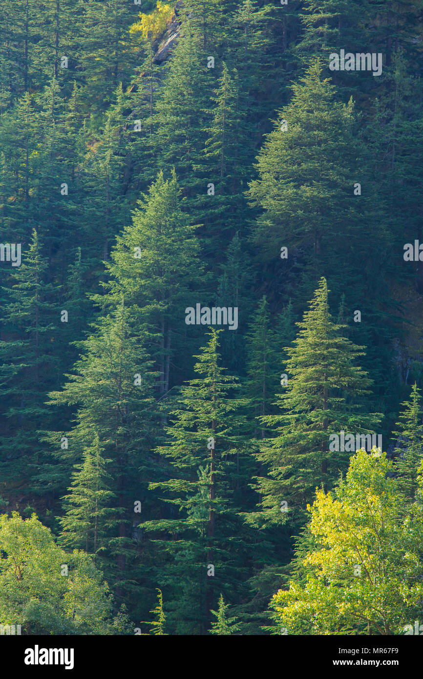 Coniferous forest in Sangla Valley (Himachal Pradesh, India) - Stock Image