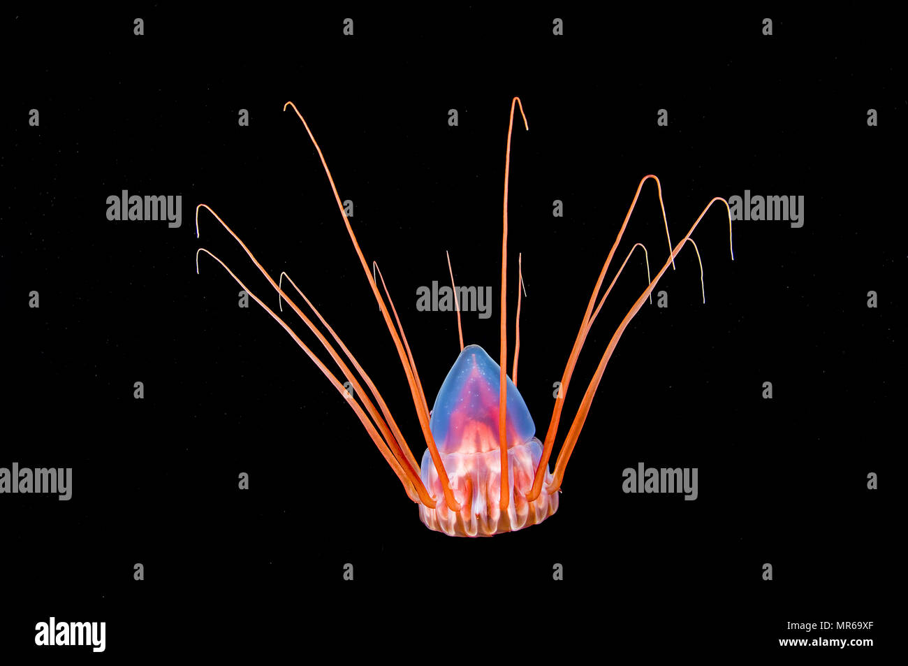 Luminous Helmet jellyfish (Periphylla periphylla), deep sea jellyfish, near Hordaland, Norway - Stock Image