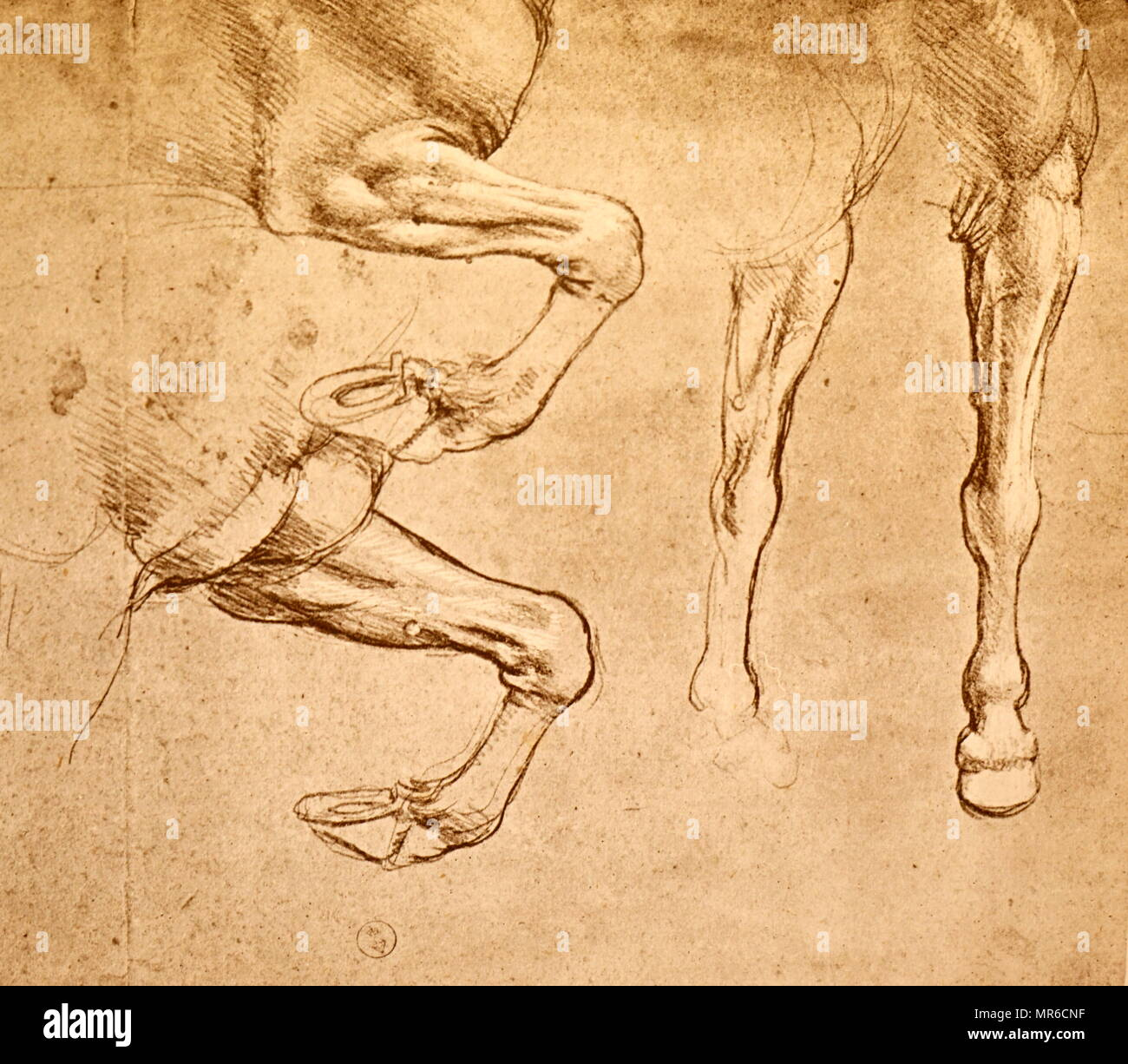 Four studies of horses legs; c1500. From the collection of the Museum of Fine Arts, Budapest. By Leonardo da Vinci (1452 – 1519), an Italian Renaissance polymath. Da Vinci was expert in invention, painting, architecture, science and engineering. considered - Stock Image