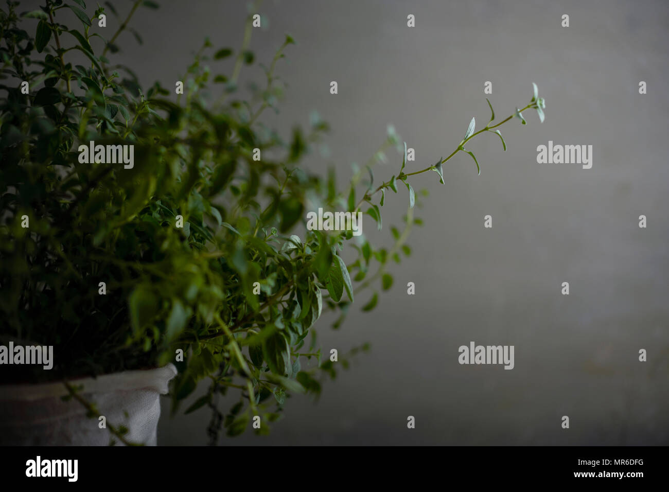 Detail shot of a potted oregano plant with beautiful long sprigs on a moody gray background. - Stock Image