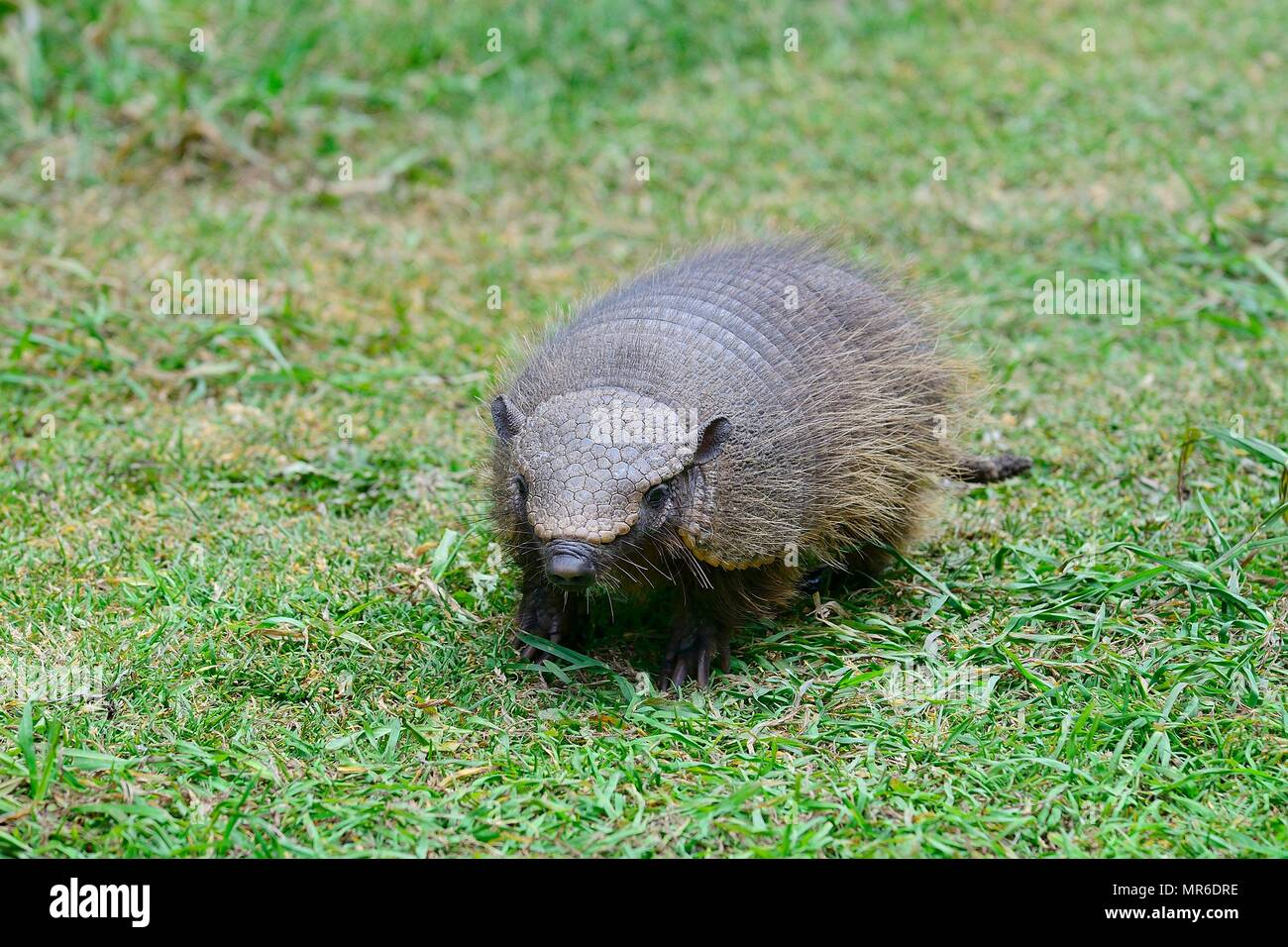 Big hairy armadillo (Chaetophractus villosus) in the grass, Parque Nacional Torres del Paine, Region de Magellanes, Chile - Stock Image