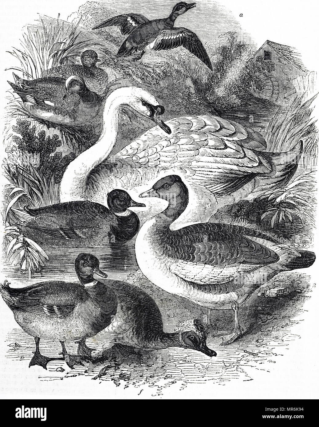 Engraving depicting varieties of domestic water fowl. Dated 19th century - Stock Image