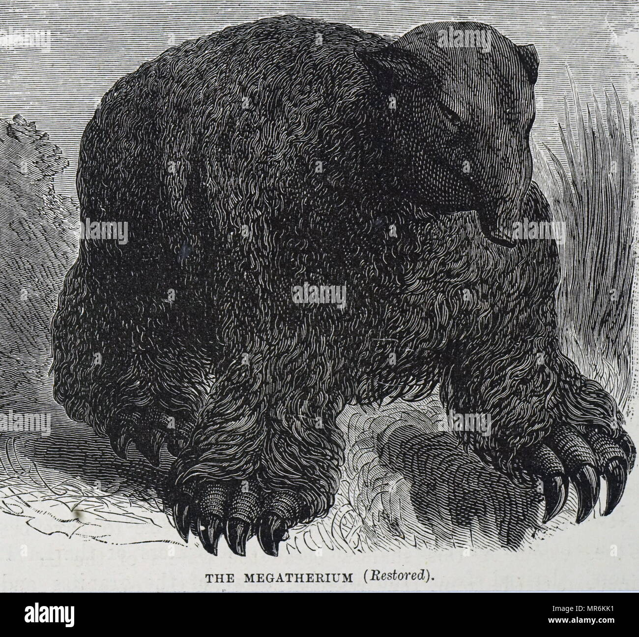 Engraving depicting a Megatherium,  a genus of elephant-sized ground sloths endemic to South America that lived from the Early Pliocene through the end of the Pleistocene. Dated 19th century - Stock Image