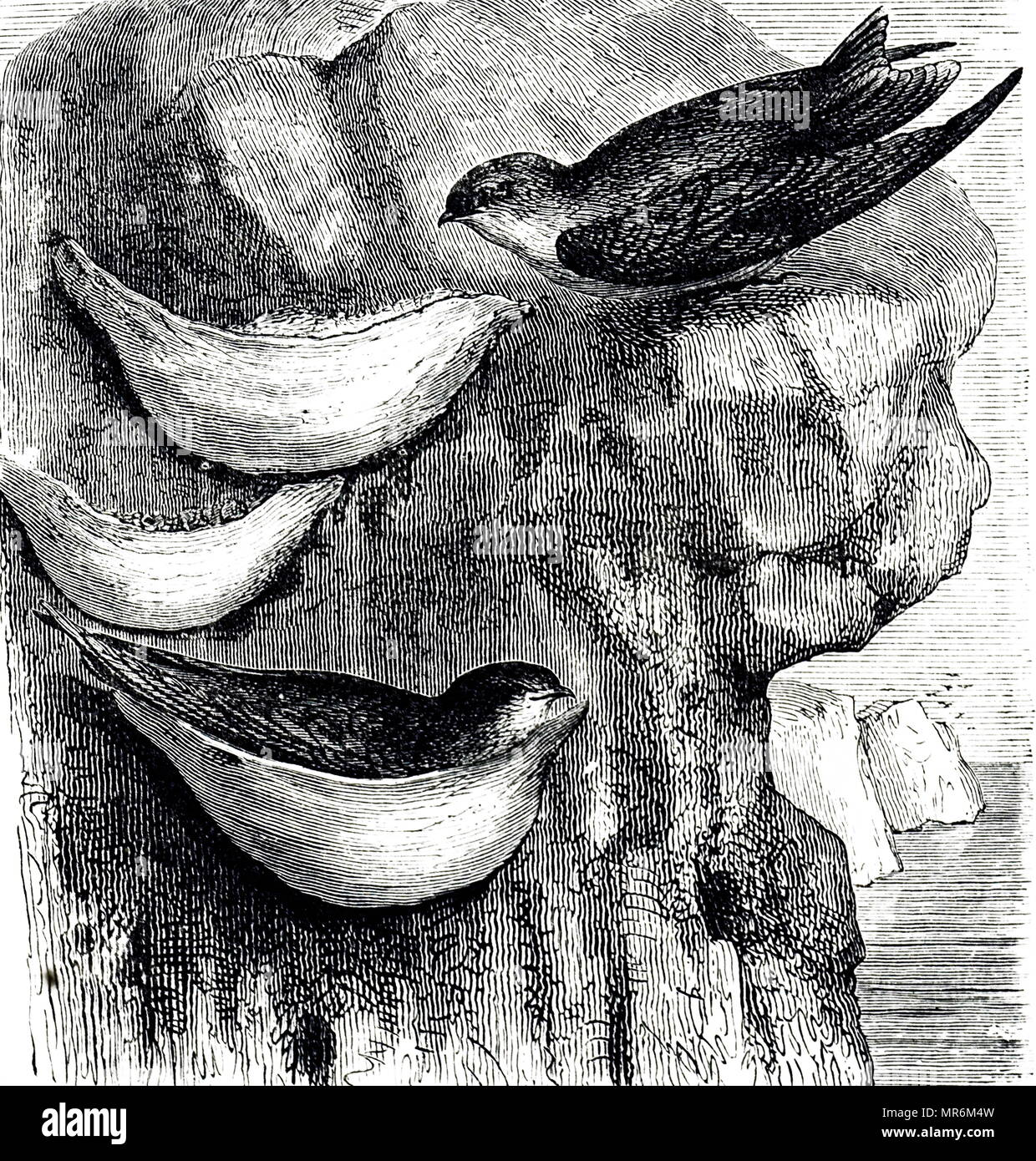 Engraving depicting Swiftlets and their nests: in Malaya and China