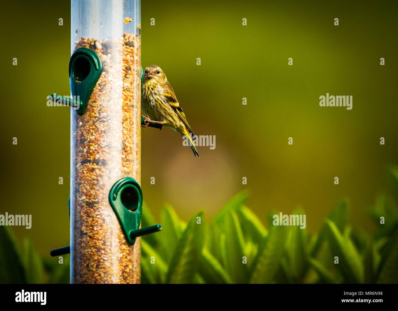 Male Siskin sitting on a bird feeder - Stock Image