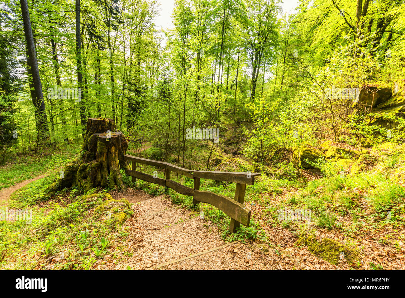 Beautiful spring forest landscape with in area of mill stone and ice caves and beech trees in volcanic Eifel at Roth, Gerolstein Germany - Stock Image