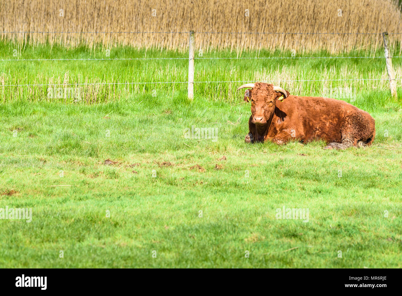 A bull sits in the sunshine on the grass of the wetlands at Seaton, Devon, England. - Stock Image
