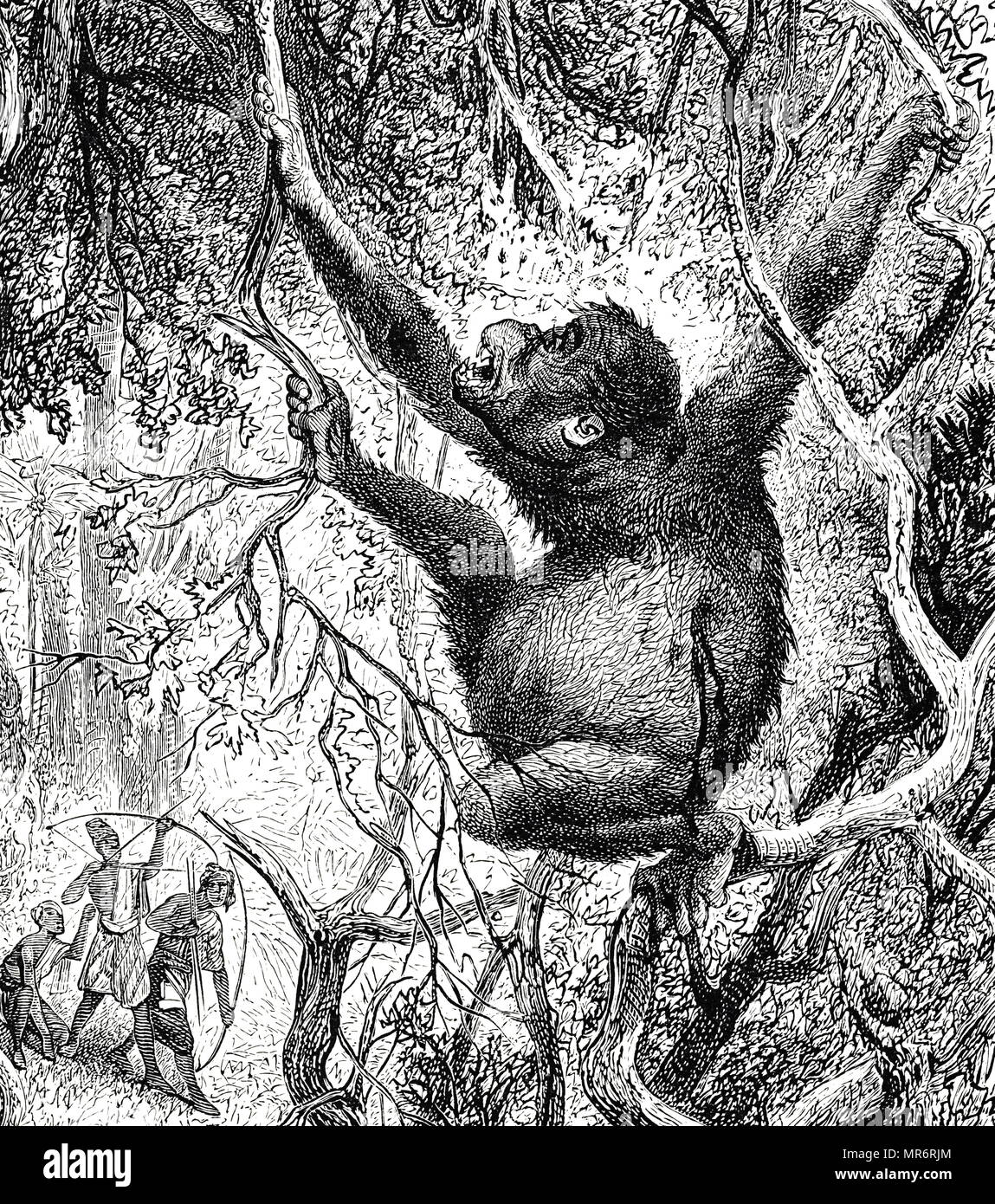 Engraving depicting an Orangutan killed by hunters in Sumatra. Dated 19th century - Stock Image