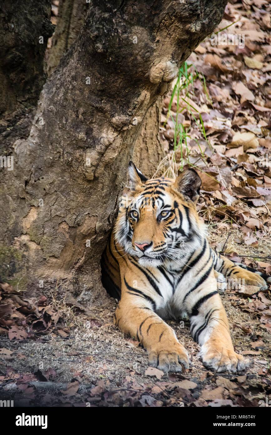 Vertical portrait of a two year old male Bengal Tiger, Panthera tigris tigris, Bandhavgarh Tiger Reserve, Madhya Pradesh, India Stock Photo