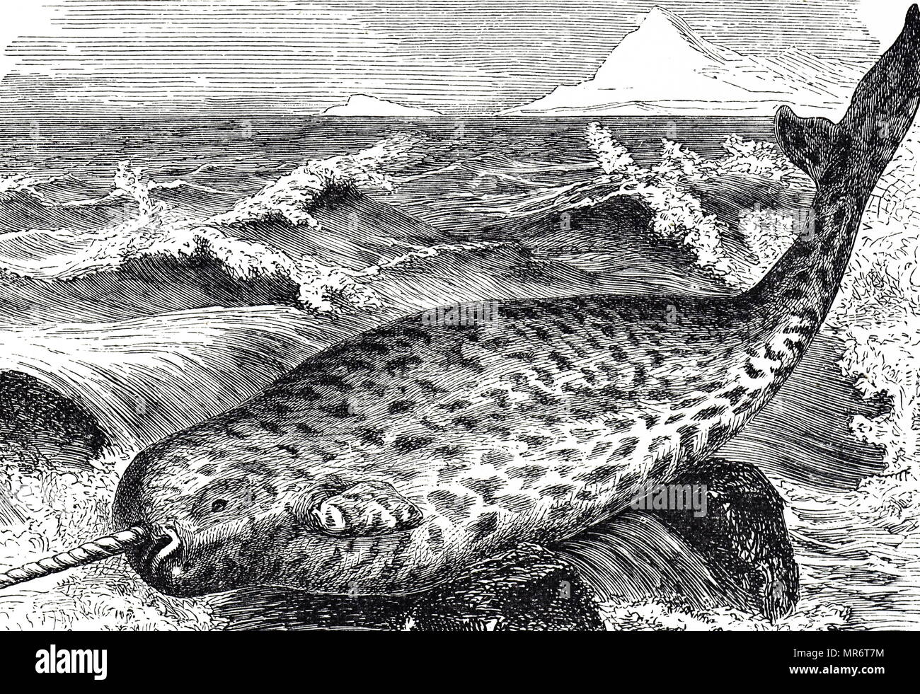 Engraving depicting a Narwhal, a medium-sized toothed whale that possesses a large 'tusk' from a protruding canine tooth. It lives year-round in the Arctic waters around Greenland, Canada, and Russia. Dated 19th century - Stock Image
