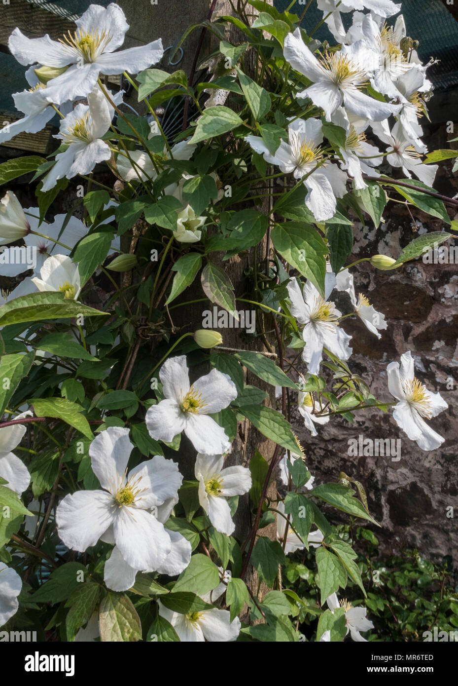 Clematis spooneri,a vigorous fast growing climber with white flowers and yellow filaments, - Stock Image