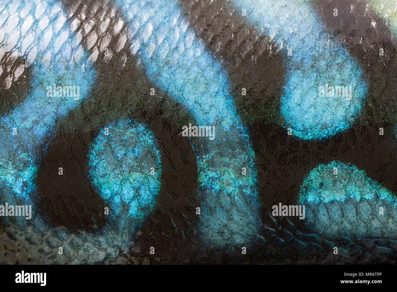 Close up picture of the skin of a mackerel caught shore fishing from Chesil beach in Dorset England UK GB showing the colours and patterning on its sk - Stock Image