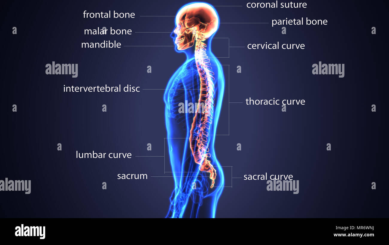 3d Illustration Of Human Body Skull And Spinal Bone Anatomy Stock