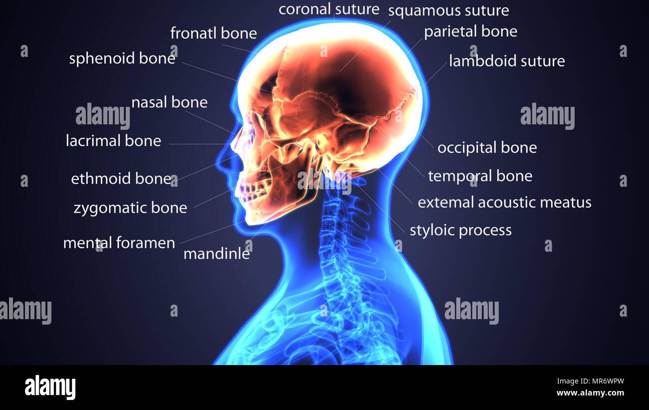 3d illustration of human body skull anatomy Stock Photo: 186392721 ...