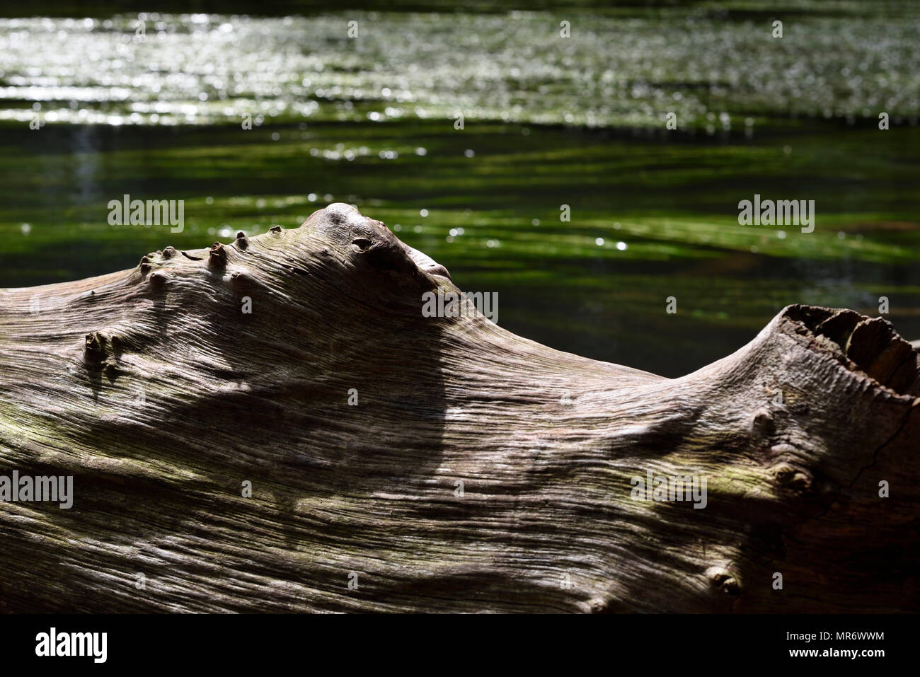 crooked tree trunk and river with green algae, Bavaria, Germany - Stock Image