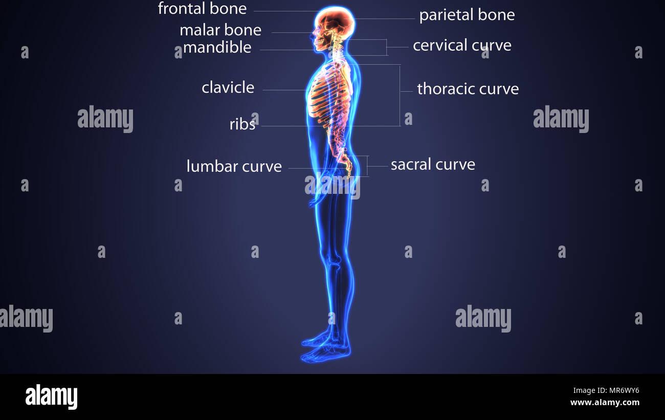 3d Illustration Of Human Ribs Anatomy Stock Photo 186392842 Alamy
