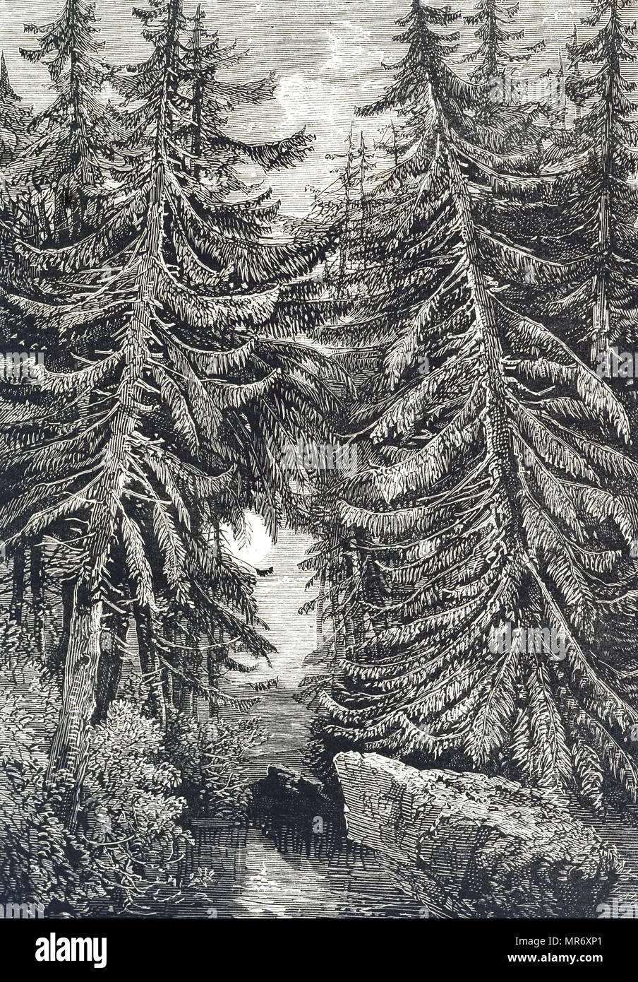 Engraving depicting fir trees. Illustrated by Richard Leitch (1827-1882) a Scottish artist. Dated 19th century - Stock Image