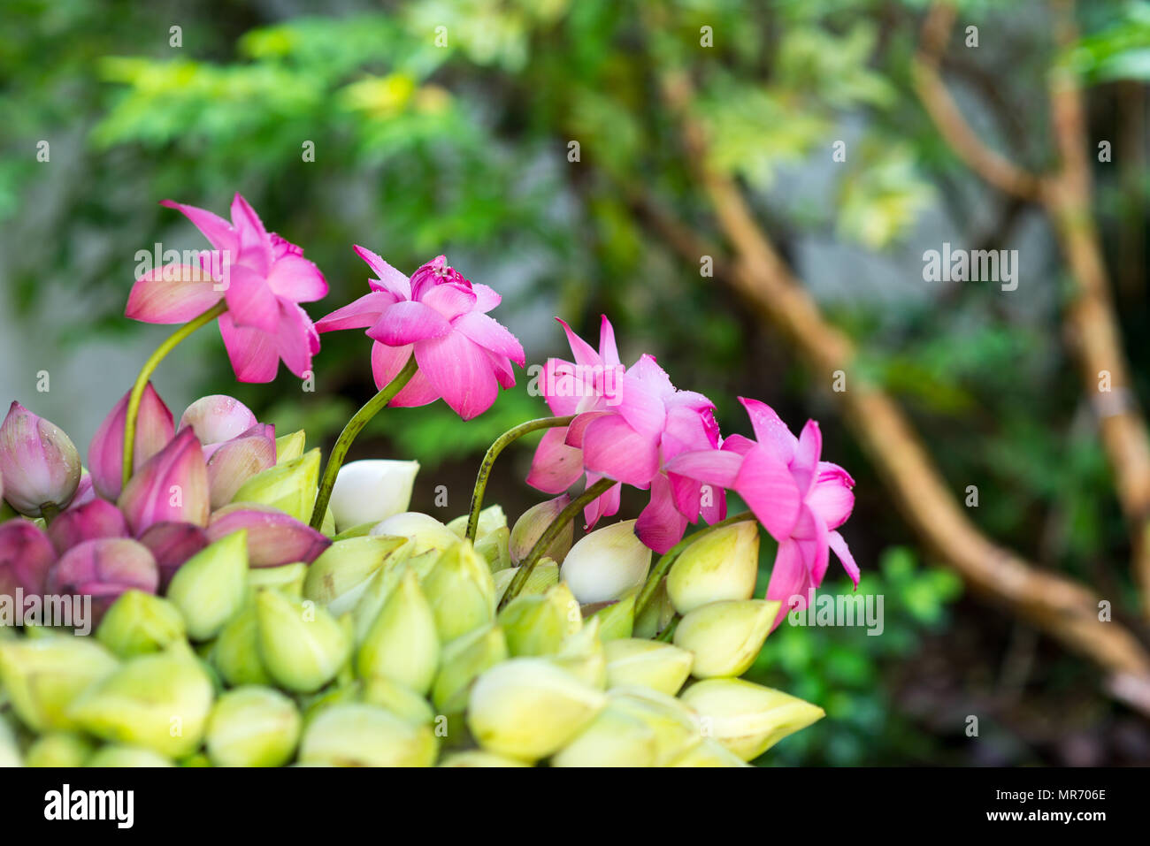 Bunch Of Beautiful White And Pink Lotus Flowers Stock Photo