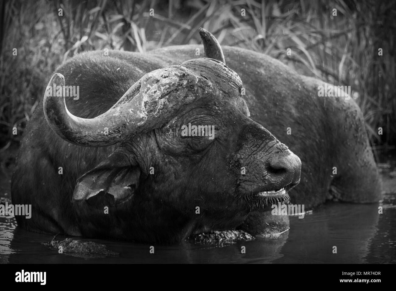 African Cape Buffalo ruminating in a wallow in the shade - Stock Image