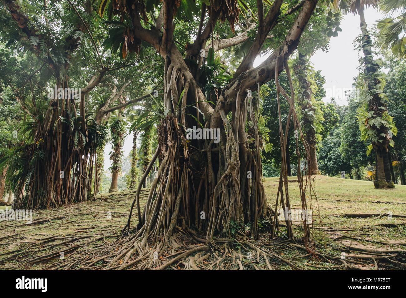 beautiful huge green trees with lianas in Kuala Lumpur - Stock Image