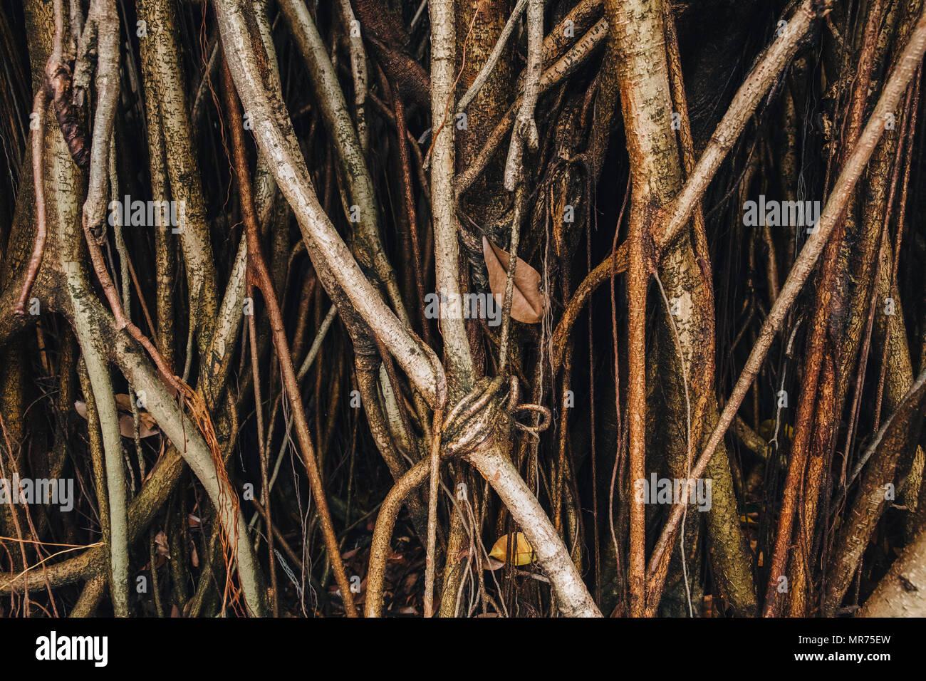 close-up view of beautiful lianas at Kuala Lumpur - Stock Image