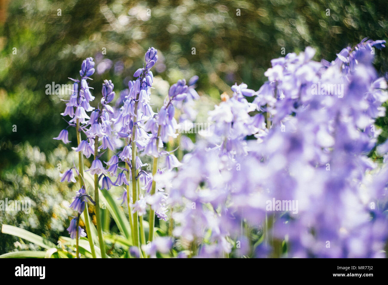 Bluebells at the turn of spring in Hampstead Heath - Stock Image