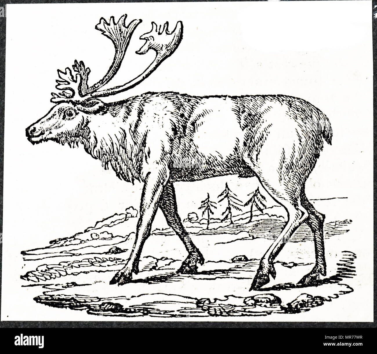 Woodcut engraving depicting a reindeer. Dated 19th century - Stock Image