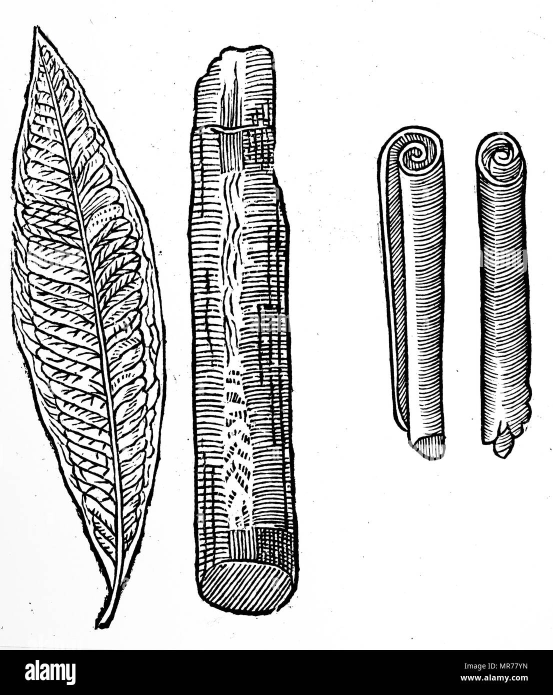 Engraving depicting a cinnamon leaf, twig, and rolled sticks. Dated 17th century - Stock Image