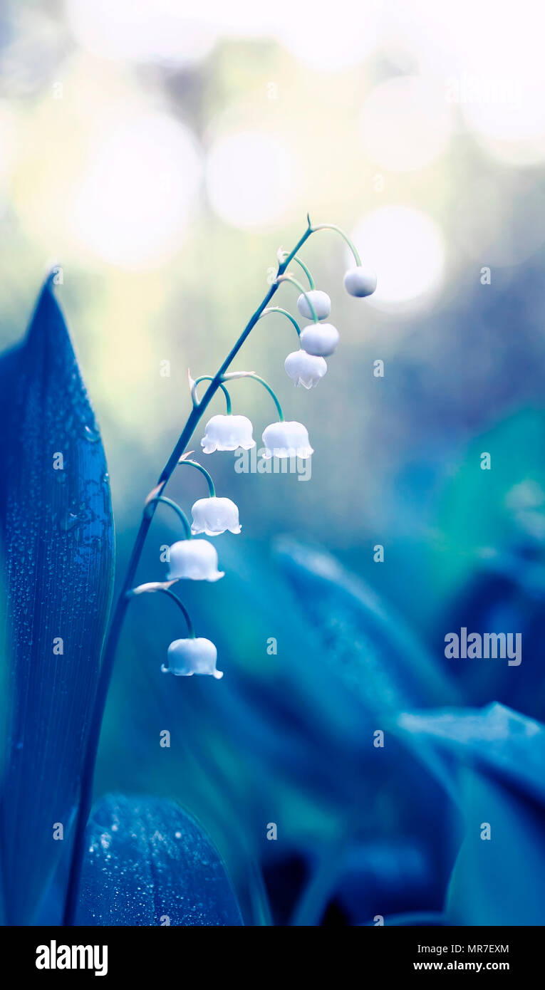 natural delicate background with white fragrant Lily-of-the-valley flowers in dew in blue tones - Stock Image