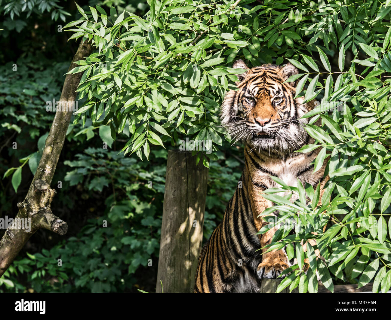Tiger in a tree (caplivity) Stock Photo