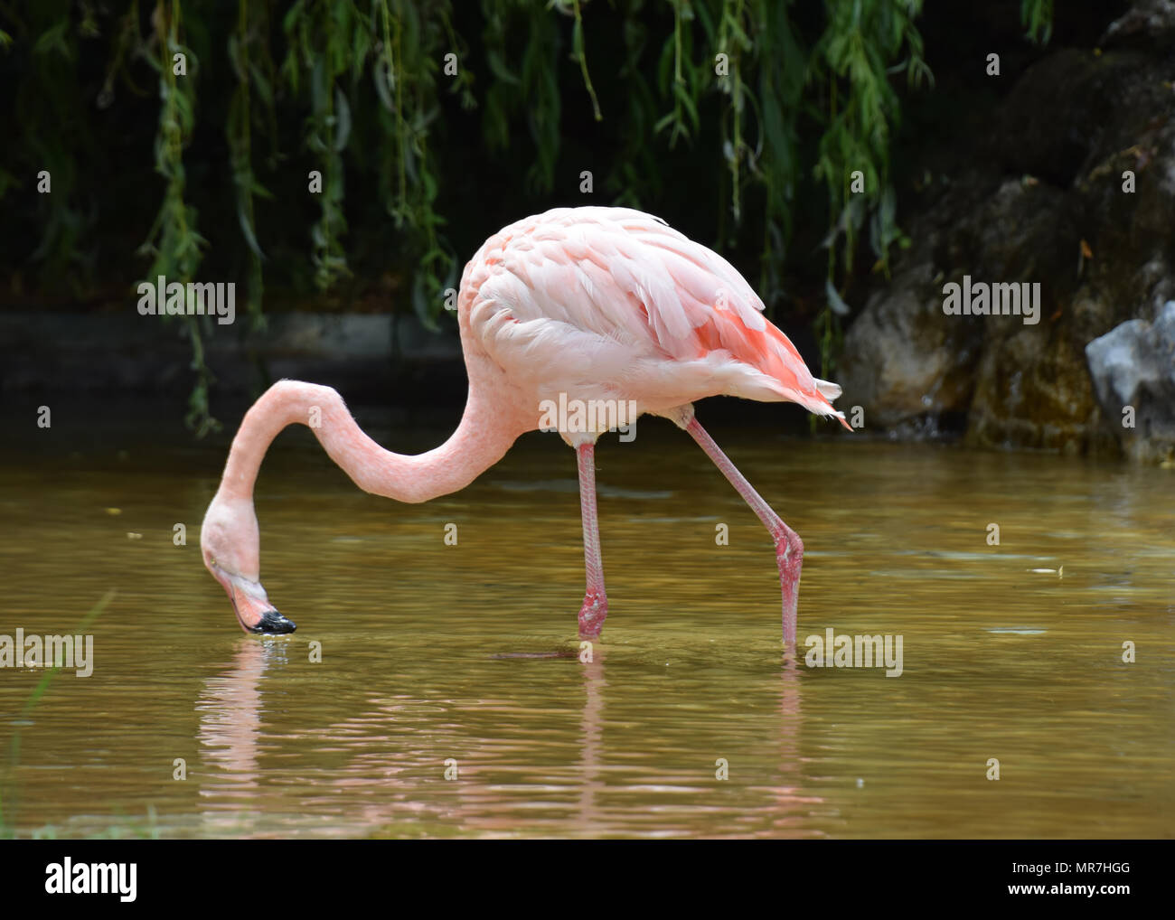 Pink Flamingo in captivity - Stock Image