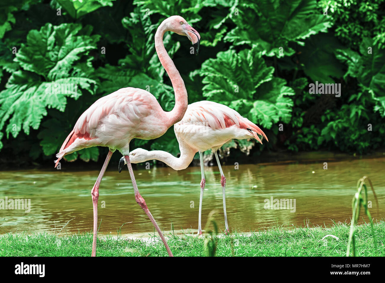 Pink Flamingos in captivity - Stock Image