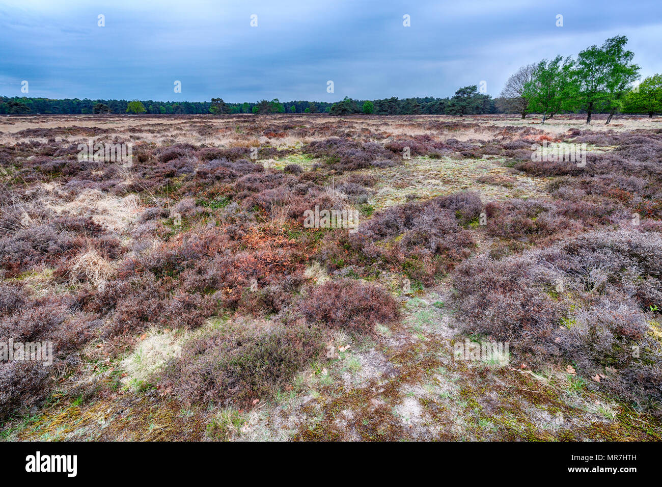 Heathland or moorlands on the national park Groote Zand near Hooghalen Drenthe during sunset. - Stock Image