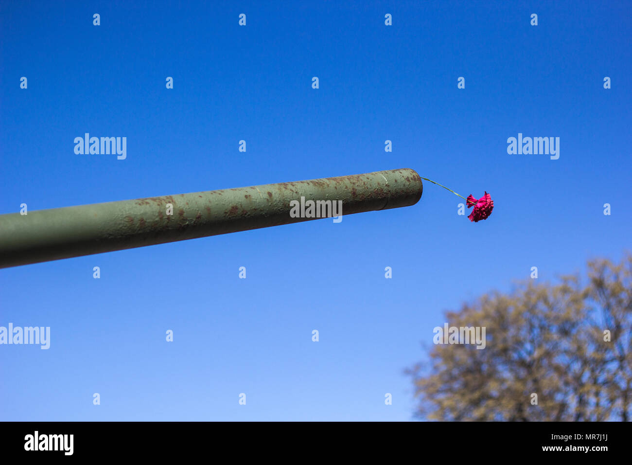 Carnation flower in the muzzle of the tank against the blue sky, concept of peace and memory Stock Photo