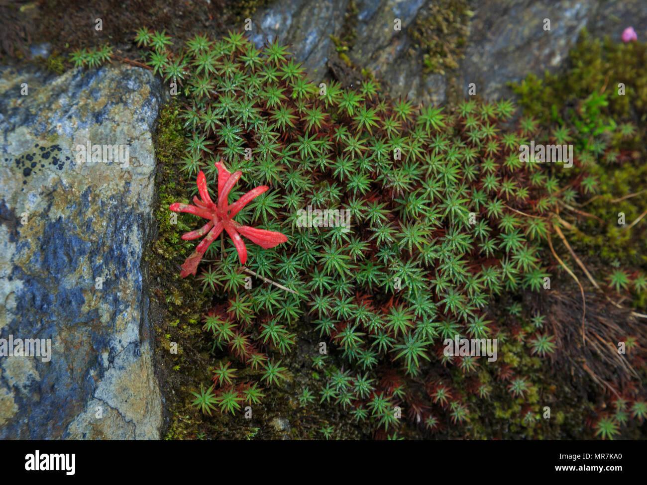Moss growing on the wet rock - on the way to Jalori Pass (Himachal Pradesh, India) - Stock Image