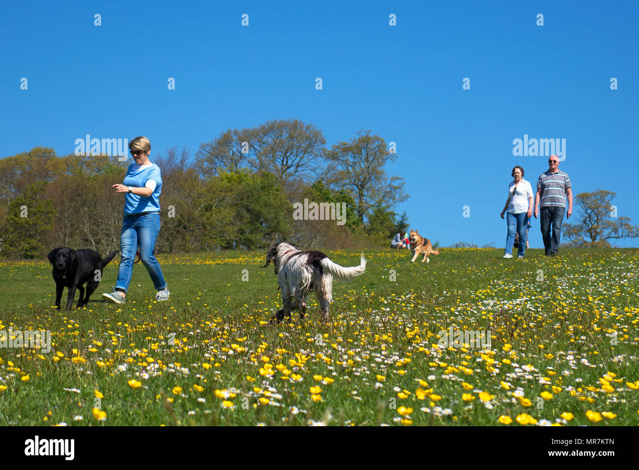 people walking dogs park sunny spring day, cornwall, england, britain, uk. - Stock Image