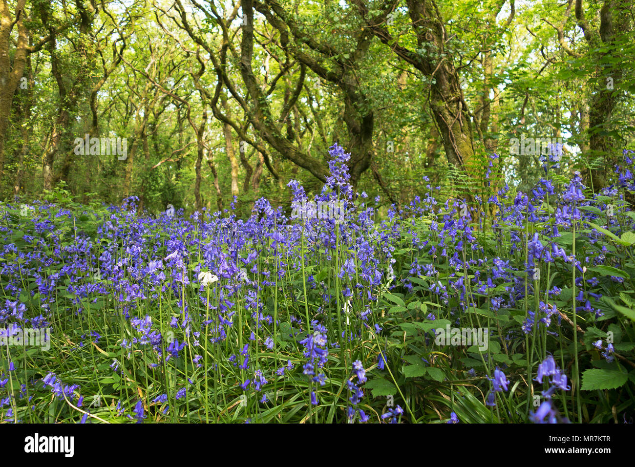 spanish bluebells growing in an ancient oak woodland, unity woods, cornwall, england, uk. - Stock Image