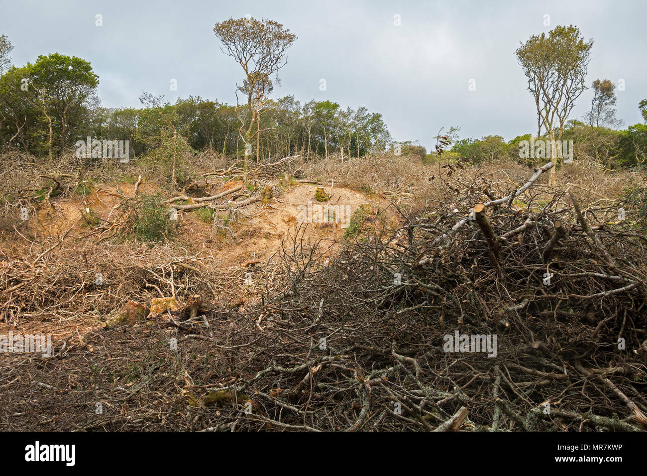ancient woodland clearance, tree felling coppicing at unity woods, cornwall, england, britain, uk. - Stock Image