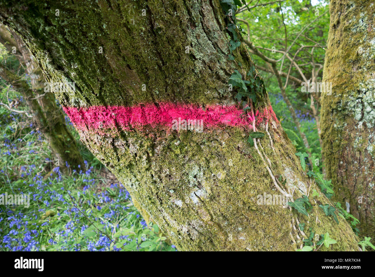 oak tree marked for felling coppicing in unity woods, cornwall, england, britain, uk. - Stock Image