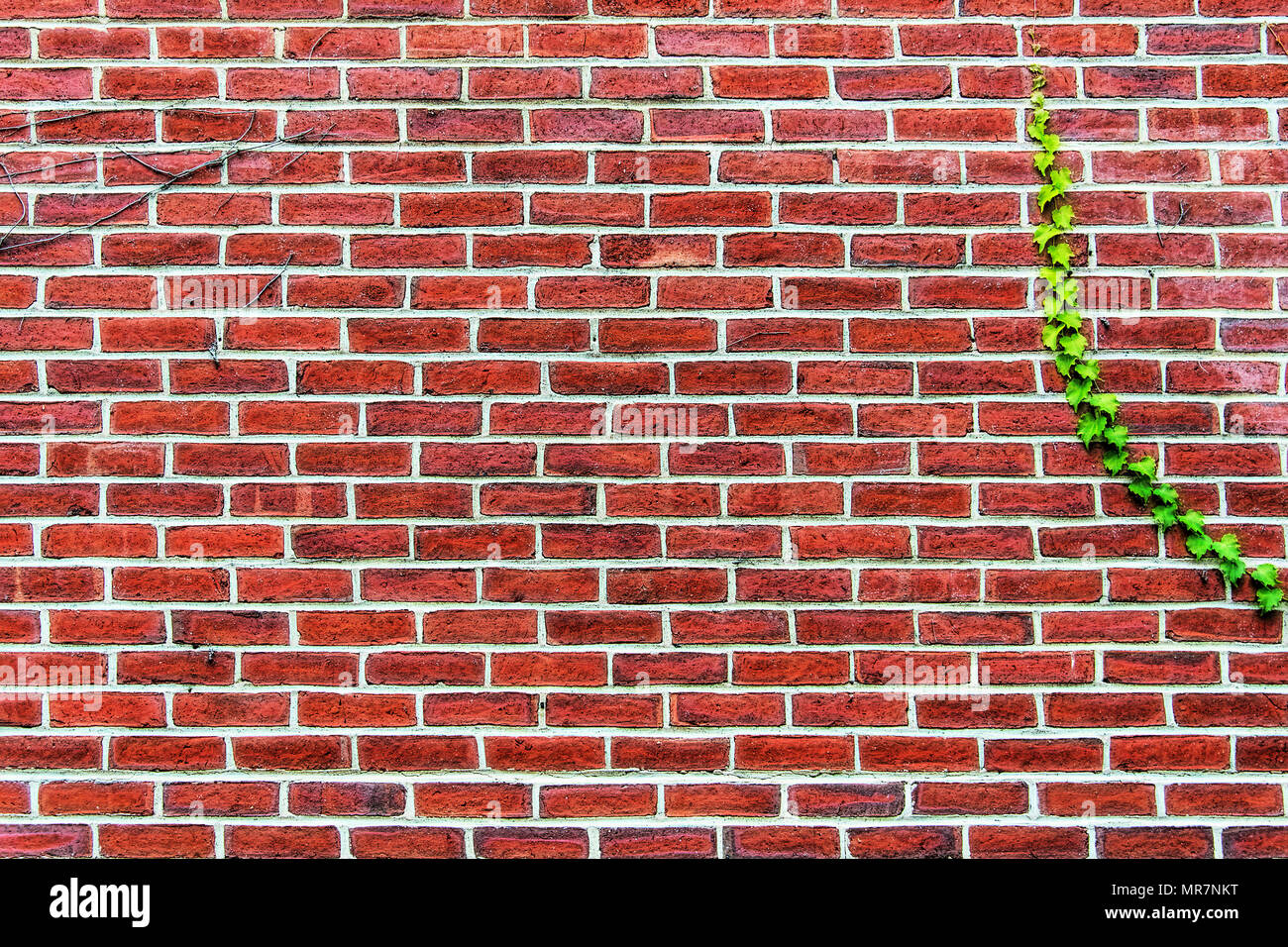Delightful red brick wall with a single green vine growing on it, - Stock Image