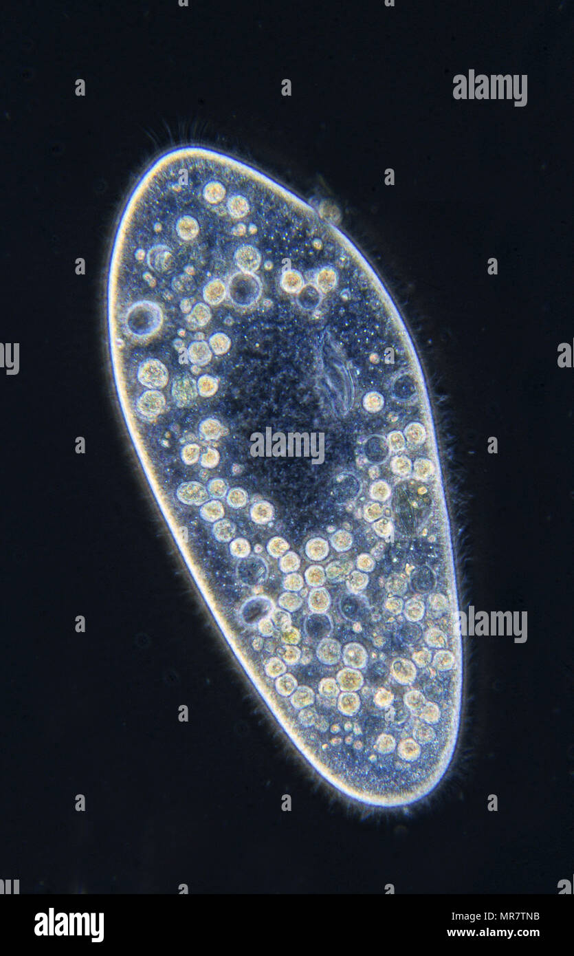 Paramecium.Ciliata.Protozoans.Optic microscopy - Stock Image