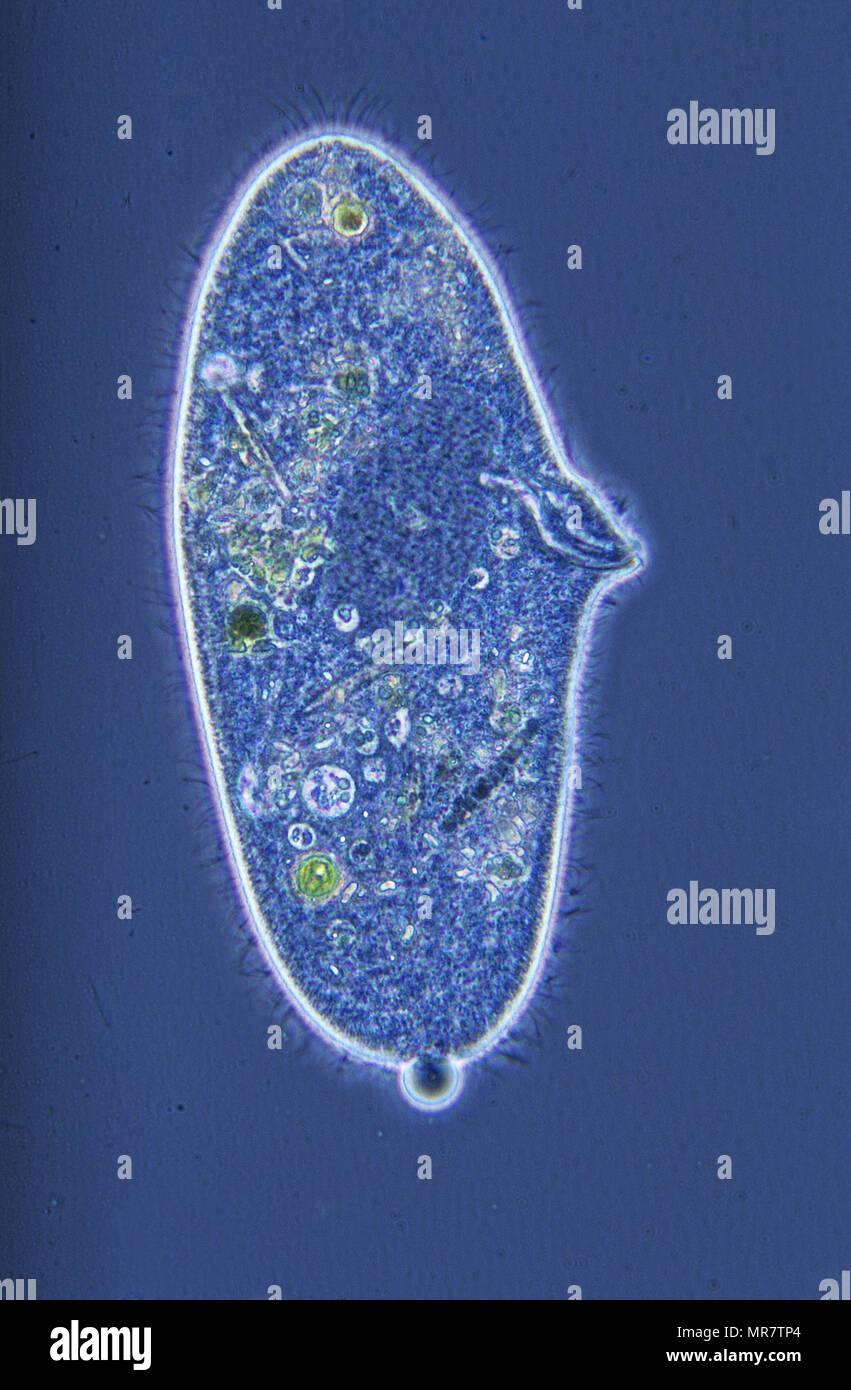 Paramecium.Ciliata.Protozoans.Optic microscopy Stock Photo