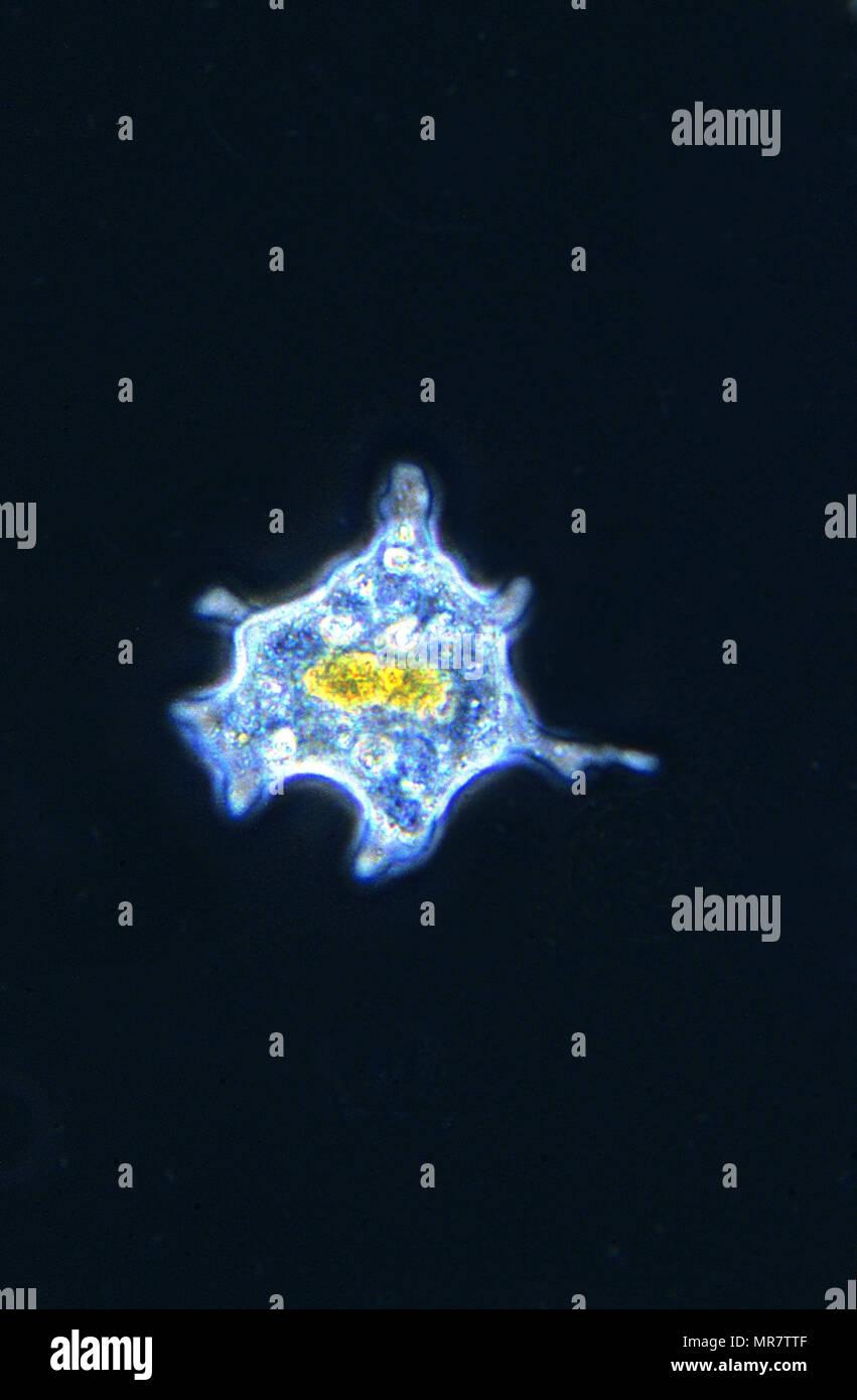 Amoeba.Rhizopoda.Protozoans.Optic microscopy - Stock Image