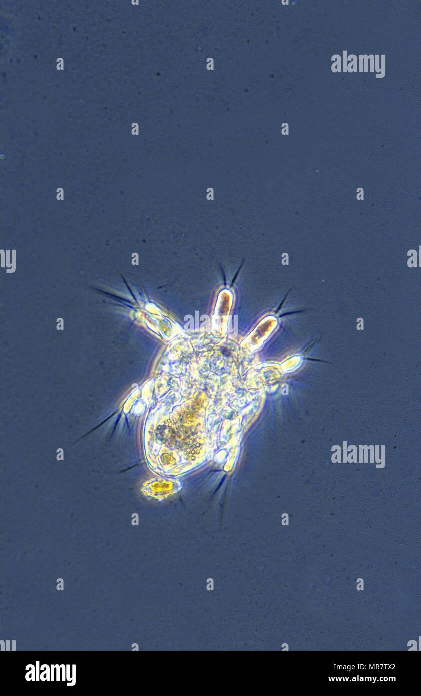 Nauplius larve.Copepod crustacean.Invertebrate.Optic microscopy - Stock Image