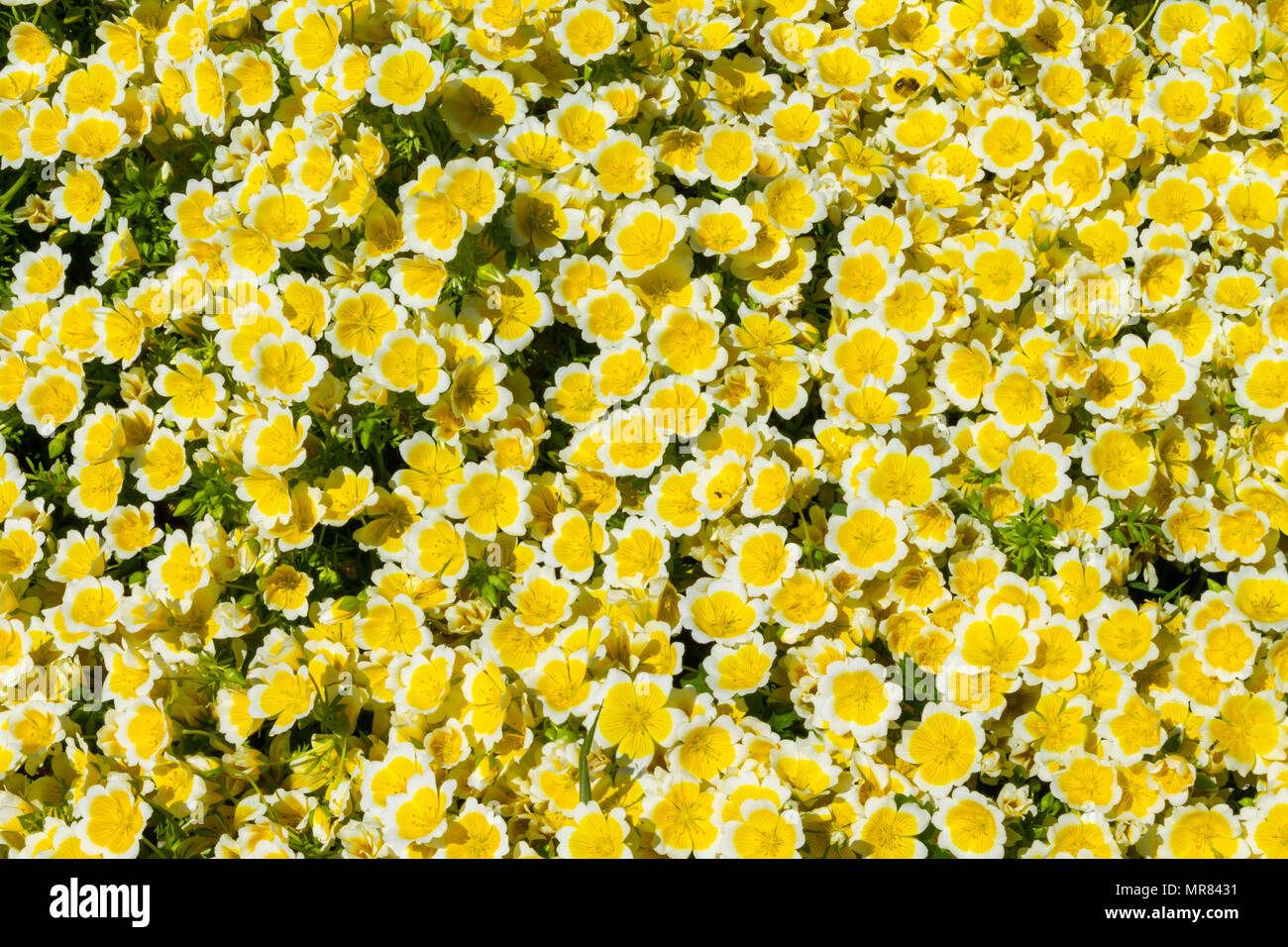poached egg plant, Limnanthes douglasii covering the ground in dense clumps with yellow and white flowers in early summer. - Stock Image