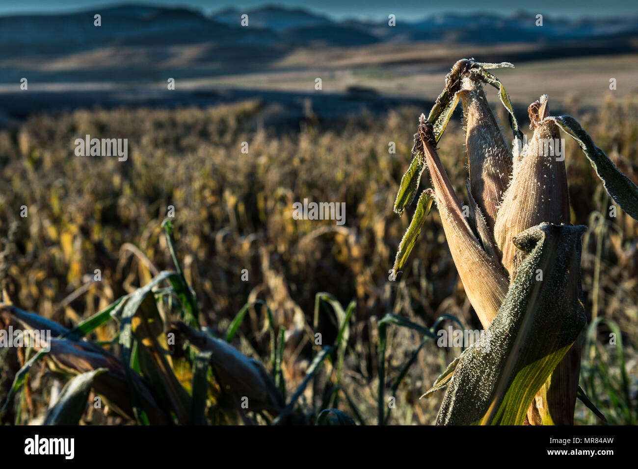 Frost conditions. Maize is the staple diet in Lesotho. The mountainous country suffers from regular bouts of food insecurity - Stock Image